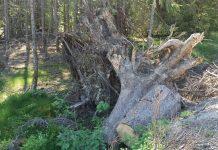 Baumwurzel im Wald